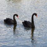 """""""Черные лебеди"""": фантом или пророчество"""