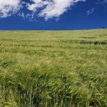 НИФИ не ожидает дальнейшего роста цен на пшеницу на мировых рынках