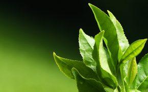 Ученые нашли лекарство от рака в чайном листе