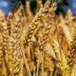 В России цифровизируют торговлю зерном