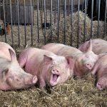 Лучшая инвестновость дня: «АГРОЭКО» расширяет производство свинины в Воронежской области