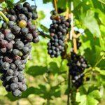 От рака легких может защитить виноград