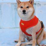 Японцы изобрели лазерный жилет для собаки